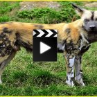 Documentary The Wild Dogs Onrush – Documentaries Film